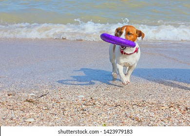 dog jack russell terrier carries a puller out of the water by the sea