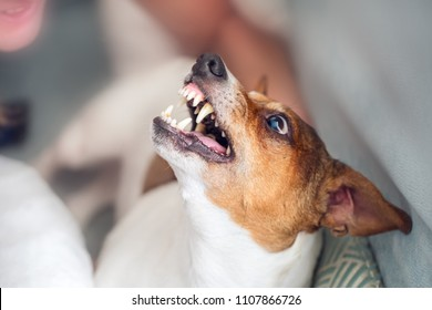 Dog Jack Russell Terrier grins in response to the threat from the man.