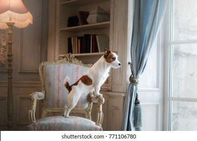 Dog Jack Russell Terrier at home. Pet on the chair in the room