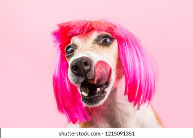 the dog Jack Russell terrier is licked waiting for a tasty treat. Food and snacks for a hungry dog. Funny pink wig. Lovely smart doggy