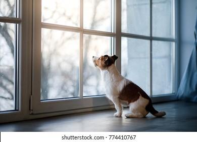 dog jack russell terrier lies on the windowsill near the window