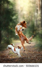 Dog Jack Russell Terrier and dog Nova Scotia Duck Tolling Retriever jump over the leaves, autumn mood