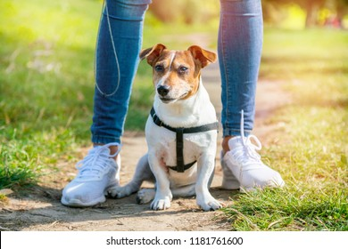 dog jack russell terrier on leash sits on the grass between the legs of its owner, looks into the distance, pathway background