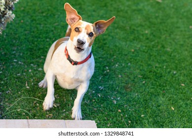Dog jack russell terrier playing outside smiles.