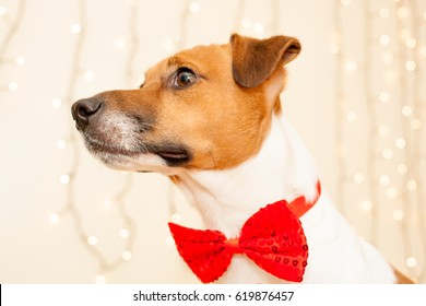 Dog Jack Russell Terrier with a red tie on a light background with warm light