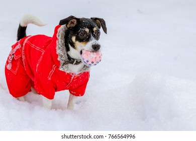 dog Jack Russell Terrier in a red suit for a winter walk