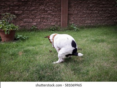 The dog jack russell terrier shitting on park