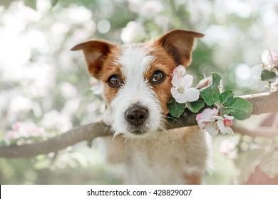 Dog Jack Russell Terrier sitting on a tree on the background of white flowers in the orchard.