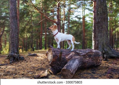 Dog jack russell terrier standing on a stump in the forest