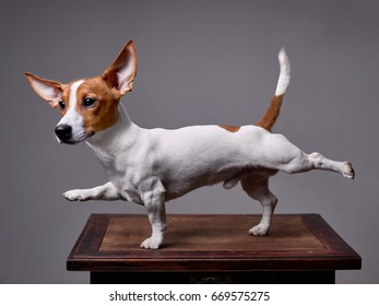 A dog, Jack Russell Terrier stretches its front right and back left legs, tail is raised up. Background - grey.