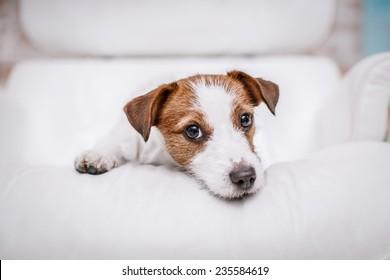 Dog Jack Russell Terrier, Studio, interior