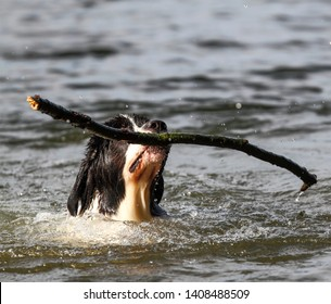 Dog juggles with a branch in the water