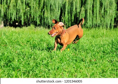 The dog is jumping. A dog of the breed is a standard smooth-haired dachshund, the color is red.