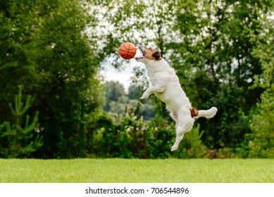 Dog jumping high to catch basketball ball
