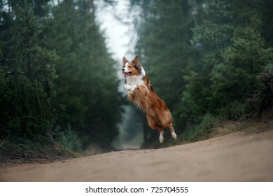 the dog is jumping, a movement. Sport with a dog,  Border Collie breed