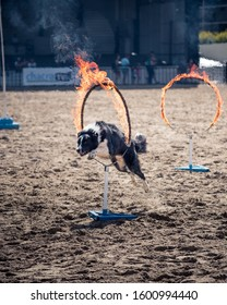 Dog jumping through flaming hoop in training course