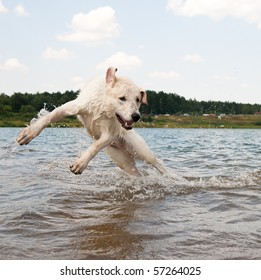 Dog jumping in the water. Labrador is playing