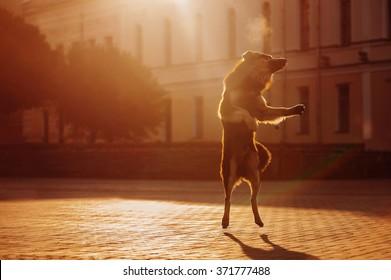 The dog jumps up at dawn