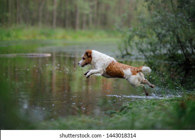 the dog jumps into the water. active jack russell terrier on the lake, outdoors