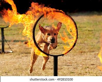 A dog jumps through burning hoops