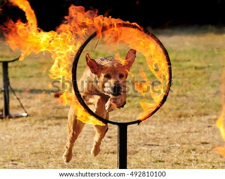 A dog jumps through burning hoops