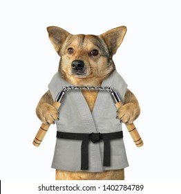 The dog karate fighter in a kimono with a black belt is making exercise with nunchuck. White background. Isolated.