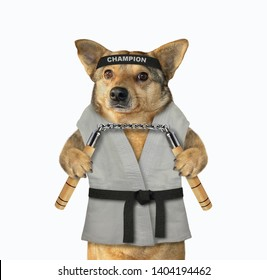The dog karate fighter in a kimono with a black belt and headband is making exercise with nunchuck. White background. Isolated.