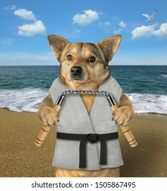 The dog karate fighter in a kimono with a black belt and headband is making exercise with nunchuck on the beach.