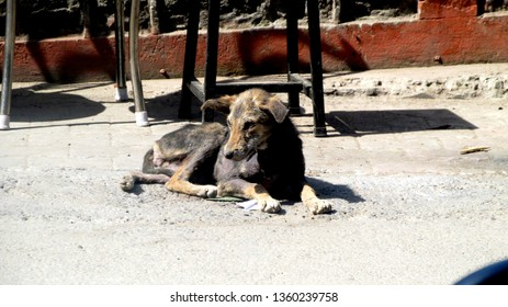 Dog in Kasauli (Himachal Pradesh)