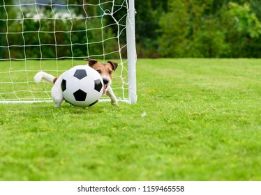 Dog as keeper catching football (soccer) ball in low corner of goal