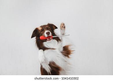 Dog keeps screwdriver