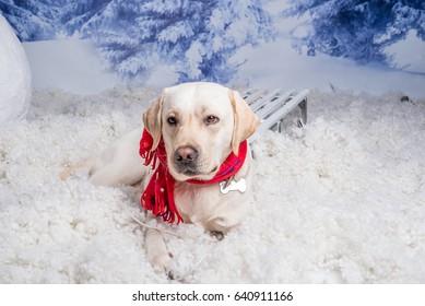 dog, Labrador,