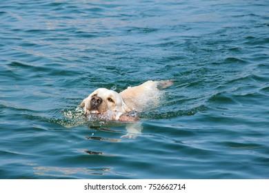 A dog labrador bathes in the sea