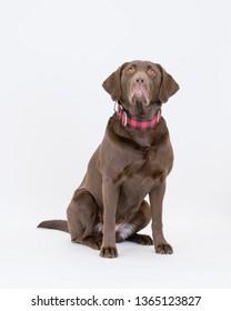 Dog labrador brown