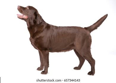 Dog labrador brown on white background