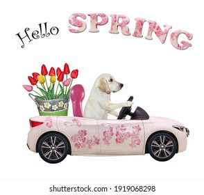 A dog labrador drives a car painted with pink flowers with a pail of tulips. Hello spring. White background. Isolated.