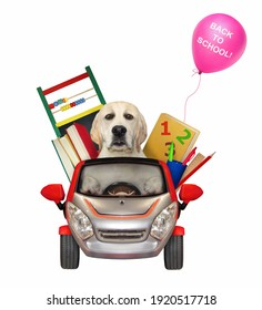 A dog labrador drives a car to school. White background. Isolated.