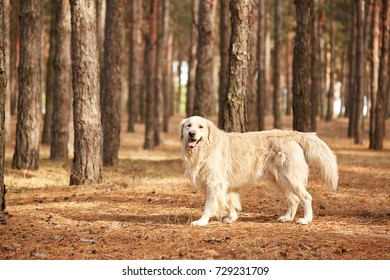 The dog is a labrador in the forest. Friendly dog.