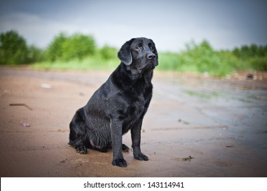 dog labrador nature of water