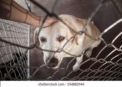 dog labrador retriever animal abuse and adoption for home concept