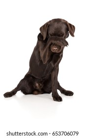 Dog Labrador Retriever is ashamed and keeps ashamed paw over his nose