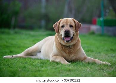 Dog Labrador Retriever lying on a green lawn