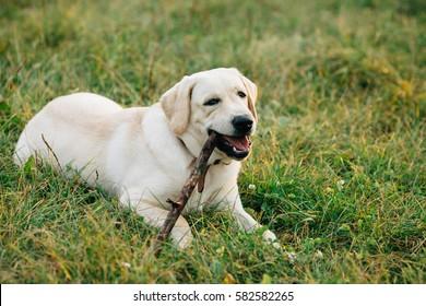 Dog Labrador retriever lying on grass chews stick