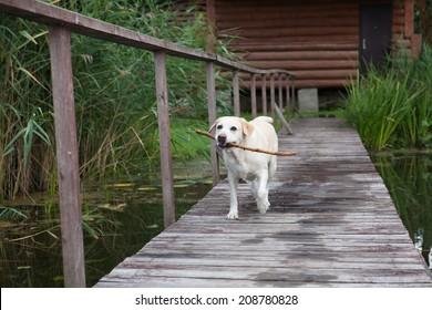 The dog the Labrador walks on the bridge