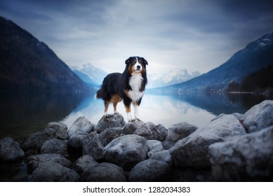 A dog at a lake between mountains. Traveling with the pet. Australian Shepherd. Nature. Austria Wilderness. Healthy lifestyle.