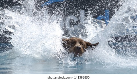 A dog lands in a pool of water; big splash, beautiful landing with face visible