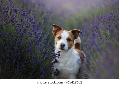 a dog in lavender flowers. Lovely pet. Jack Russell Terrier