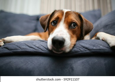 Dog laying down on the couch