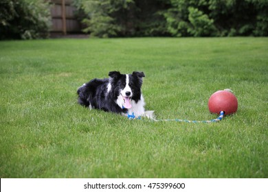 A dog laying in the grass with a red ball