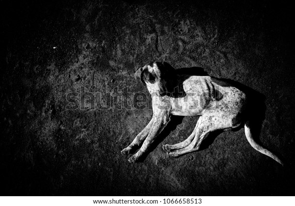 Dog laying on black earth, B/W picture from top of dog